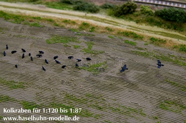 Kolkraben im gepflügten Feld